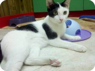 Domestic Shorthair Cat for adoption in Richboro, Pennsylvania - Angelina