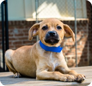 Labrador Retriever/Beagle Mix Puppy for adoption in Norwalk, Connecticut - Tinker