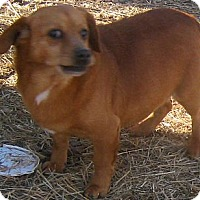 Dachshund/Beagle Mix Dog for adoption in Hillsboro, Ohio - Vanilla