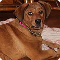 Adopt A Pet :: Cotton - Huntsville, AL