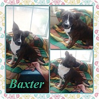 Adopt A Pet :: Baxter in CT - East Hartford, CT