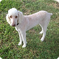 Adopt A Pet :: Maggie - Fair Oaks Ranch, TX