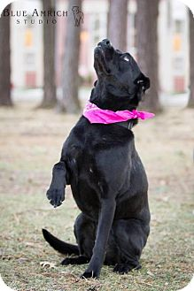 Labrador Retriever Mix Dog for adoption in Enfield, Connecticut - Ruby