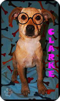 Labrador Retriever/Retriever (Unknown Type) Mix Puppy for adoption in Converse, Texas - Clarke