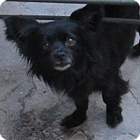 Chihuahua/Pomeranian Mix Dog for adoption in San Ysidro, California - Angel