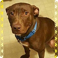 American Pit Bull Terrier/Labrador Retriever Mix Dog for adoption in Lowell, Indiana - Chance