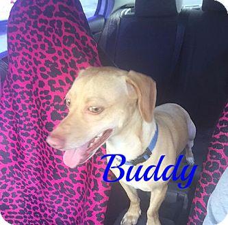 Chihuahua Mix Dog for adoption in Maitland, Florida - Buddy