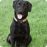 Labrador Retriever/Schnauzer (Giant) Mix Dog for adoption in Pilot Point, Texas - ATTICUS