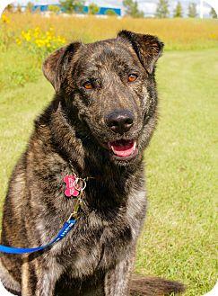 Shepherd (Unknown Type)/Dutch Shepherd Mix Dog for adoption in Winnipeg, Manitoba - Zach