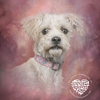 Maltese/Poodle (Standard) Mix Dog for adoption in Inglewood, California - Alda
