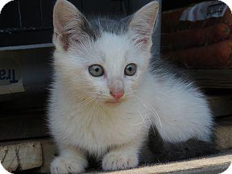 Domestic Shorthair Kitten for adoption in Unionville, Pennsylvania - Spot