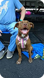 Labrador Retriever Mix Dog for adoption in Livonia, Michigan - Zorua - ADOPTED