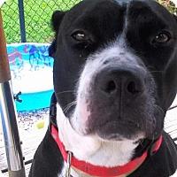 Adopt A Pet :: Pipi - St Louis, MO