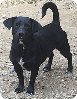 Dachshund Mix Dog for adoption in Spring Valley, New York - Suzie