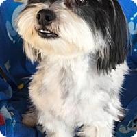 Shih Tzu/Maltese Mix Dog for adoption in Temecula, California - Oliver