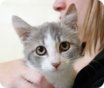 Domestic Shorthair Kitten for adoption in Greenfield, Indiana - Olivia