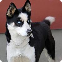 Adopt A Pet :: izzy - Idaho Falls, ID