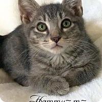Adopt A Pet :: Hammy - Island Park, NY