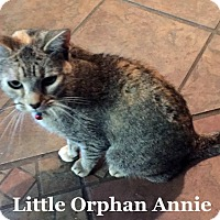 Domestic Shorthair Cat for adoption in Bentonville, Arkansas - Little Orphan Annie