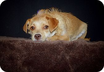 Terrier (Unknown Type, Small) Mix Dog for adoption in Van Nuys, California - Peaches