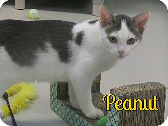 Domestic Shorthair Kitten for adoption in Sarasota, Florida - Peanut
