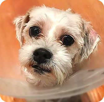 shih tzu rescue nyc daisy adopted dog new york ny maltese shih tzu mix 1752