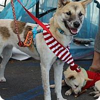 Jindo/Shiba Inu Mix Dog for adoption in Fullerton, California - Lucas