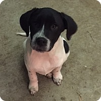 Cattle Dog Mix Puppy for adoption in Evergreen, Colorado - Duke