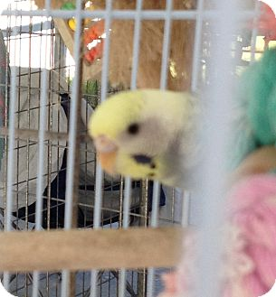 Parakeet - Other for adoption in Punta Gorda, Florida - Missi