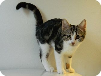 Domestic Shorthair Kitten for adoption in The Colony, Texas - Brussels