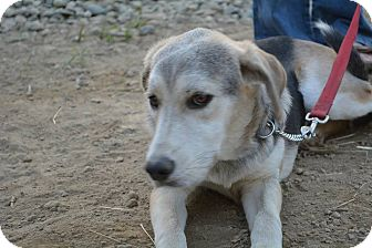 Labrador Retriever/Shepherd (Unknown Type) Mix Dog for adoption in Clinton, Maine - Cora