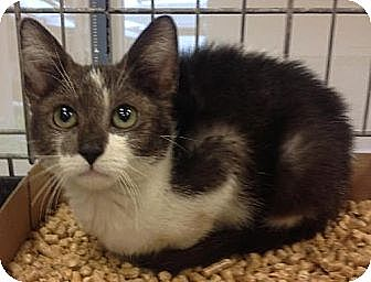 Domestic Shorthair Kitten for adoption in Miami, Florida - Sky Dive
