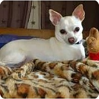 Adopt A Pet :: Peppy - Toronto/Etobicoke/GTA, ON