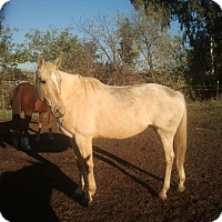 Quarterhorse Mix for adoption in Elk Grove, California - Sierra