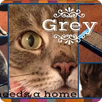 Adopt A Pet :: Grey - Union City, NJ