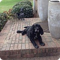 Adopt A Pet :: Dagwood - Alpharetta, GA