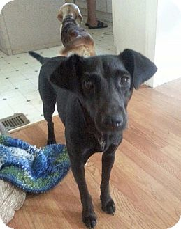 Whippet/Rat Terrier Mix Dog for adoption in Newtown ...