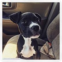 Adopt A Pet :: Little Orphan Annie - Pending - West Allis, WI