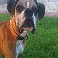 Boxer Dog for adoption in Las Vegas, Nevada - Ty