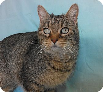 Domestic Shorthair Cat for adoption in Larned, Kansas - Jinx