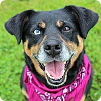 Adopt A Pet :: Violet - Dillsburg, PA