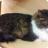 Domestic Longhair Cat for adoption in Manhattan, Kansas - Chuck