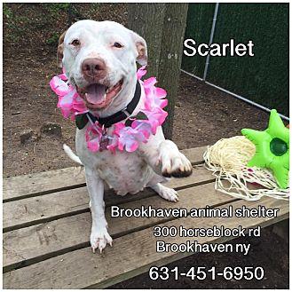 Labrador Retriever Mix Dog for adoption in Brookhaven, New York - Scarlett