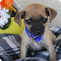 Adopt A Pet :: Remington - Phoenix, AZ