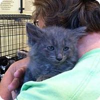 Domestic Longhair Kitten for adoption in Rustburg, Virginia - Geni's Nicky-Fostered