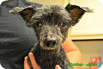 Poodle (Miniature) Dog for adoption in PT ORANGE, Florida - Shadow