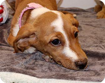 Feist/Dachshund Mix Puppy for adoption in Glastonbury, Connecticut - Mitsy~ meet me!