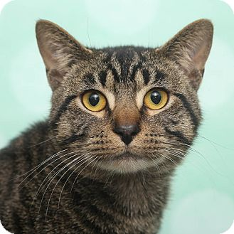 Domestic Shorthair Cat for adoption in Chippewa Falls, Wisconsin - Ziggy