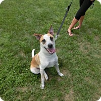 Australian Cattle Dog Mix Dog for adoption in Springfield, Ohio - Zeke