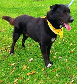 Flat-Coated Retriever/Labrador Retriever Mix Dog for adoption in Huntington, New York - Niko - N